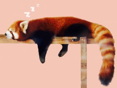 眠るアライグマ